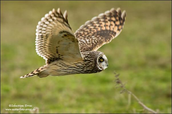 Pictures Of Owls In Flight. Short-eared Owl in flight